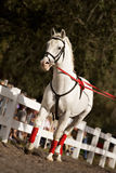 Young Lipizzan Royalty Free Stock Image