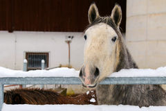 Young Lipizzan Horse standing behind metal fence Stock Photo