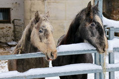 Young Lipizzan Horses standing behind metal fence Royalty Free Stock Photo