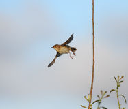 Young little bird in flight Stock Images