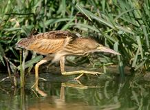 Young little bittern with open crest hunting on the water. Close up scene in soft evening light Royalty Free Stock Photography