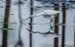 A Young Little Blue Heron Extending Neck Royalty Free Stock Photography
