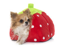 Young little chihuahua in dog bed Royalty Free Stock Image
