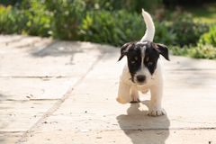 Young little Jack Russell dog puppy dogs 7.5 weeks old is running over the terrace stock photos