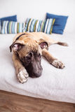 Young little dog lies on the bed at home. Young sweet little dog lies on the bed at home Royalty Free Stock Photography