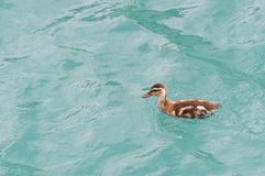 Young little duckling swimming in the lake Royalty Free Stock Photos
