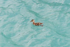 Young little duckling swimming in the lake Royalty Free Stock Photography