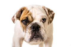 Young little French Bulldog cub dog looking curious at the camera Royalty Free Stock Images