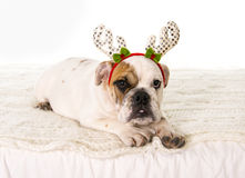 Young little French Bulldog cub dog lying on bed at home with Christmas reindeer horns hat Stock Image