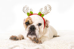 Young little French Bulldog cub dog lying on bed at home with Christmas reindeer horns hat Royalty Free Stock Photo