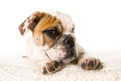 Young little French Bulldog cub dog lying on bed at home looking curious at the camera royalty free stock image