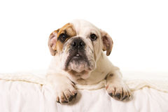 Young little French Bulldog cub dog lying on bed at home looking curious at the camera Royalty Free Stock Photography