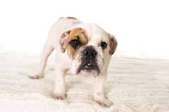 Young little French Bulldog cub standing on bed at home looking curious at the camera Royalty Free Stock Photography