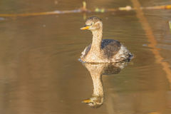 Young Little Grebe Stock Image