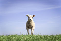 Young little lamb standing alone in the grass field. Cute little lamb standing on the grass Royalty Free Stock Photography