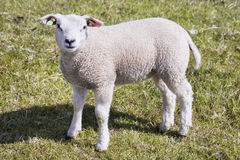 Young little lamb standing in the field stock images