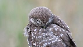 Young Little owl Athene noctua cleans its feathers. Close Up. stock video