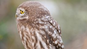 Young Little owl Athene noctua looks around. Close Up stock footage