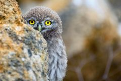 A young little owl Athene noctua peeps out of the stone Stock Photography