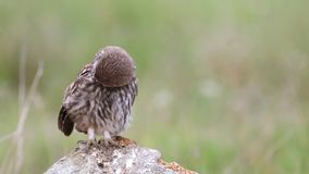 Young Little owl Athene noctua sits on a stone and cleaned. stock footage