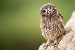 Young little owl Athene noctua stands near his hole. Young little owl Athene noctua stands near his hole on the beautiful background Stock Photography
