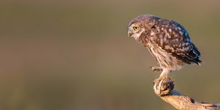 Young Little owl, Athene noctua, stands on a stick on a beautiful background royalty free stock image
