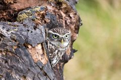 A Young Little Owl in its Natural Habitat Stock Photography