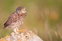 Young little owl sitting on a stone Royalty Free Stock Image