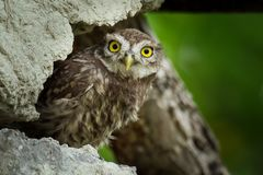 The young Little Owls Athene noctula perched on a roof of a barn with green leaves in athe background.  royalty free stock photography