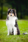 Young little puppy collie Stock Photo