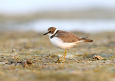Young little ringed plover close up portrait. Stock Photography