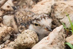 The young Little Ringed Plover disguise beside stone Royalty Free Stock Images