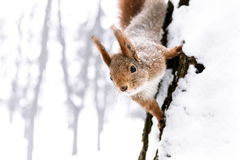 Young little squirrel sitting on the snowy tree trunk and lookin Stock Photos