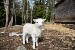 Young little white and cute lamb in Sweden 2018 royalty free stock images