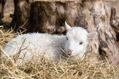Young little white and cute lamb in Sweden 2018 royalty free stock photo