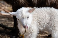 Young little white and cute lamb in Sweden 2018 stock image
