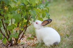 Young little white rabbit tries leaves of currant bush with curi. The Young little white rabbit tries leaves of currant bush with curiosity Royalty Free Stock Photography