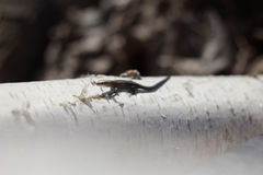 Young lizard on birch. Young lizard basking in the early spring on a log in the sun stock image