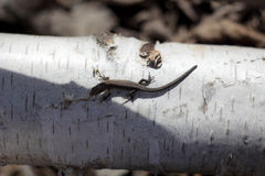Young lizard on birch. Young lizard basking in the early spring on a log in the sun royalty free stock image