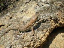 Young lizard macroshot Stock Images