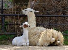 Free Young Llama Stock Images - 32816054