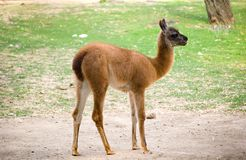 Young llama Royalty Free Stock Photo