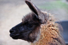 A young llama. Looks back Royalty Free Stock Photos