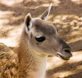 Young  llama Stock Photos