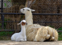 Young llama Stock Images