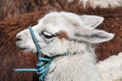 Young llama head Stock Photo