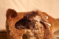 Young llama Stock Images