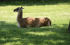 Young Llama Lying Down. Young Llama lying in the grass, resting Royalty Free Stock Image