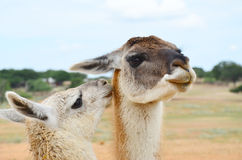 Young Llama with Mother Royalty Free Stock Photos