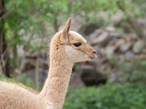 Young llama vicuna portrait Stock Image